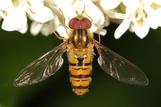 Episyrphus balteatus - Winterschwebfliege, Männchen (1)