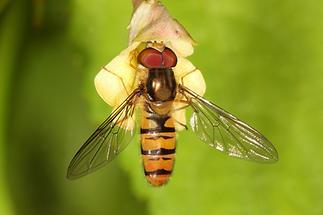 Episyrphus balteatus - Winterschwebfliege, Männchen (2)