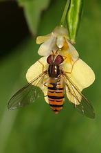 Episyrphus balteatus - Winterschwebfliege, Weibchen (1)