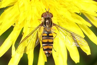 Episyrphus balteatus - Winterschwebfliege, Weibchen (2)