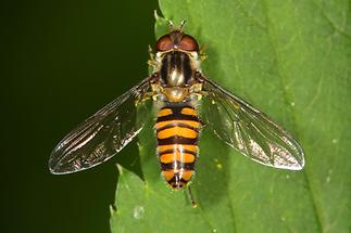 Episyrphus balteatus - Winterschwebfliege, Weibchen (3)