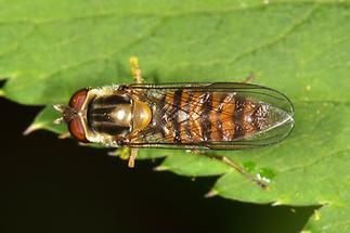 Episyrphus balteatus - Winterschwebfliege, Weibchen (4)