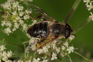 Eristalis interrupta - Mittlere Keilfleckschwebfliege, Weibchen