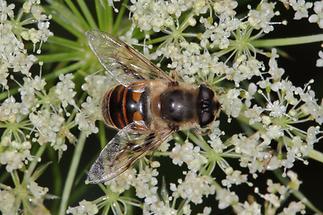 Eristalis tenax - Mistbiene, Scheinbienen-Keilfleckschwebfliege, Männchen (1)