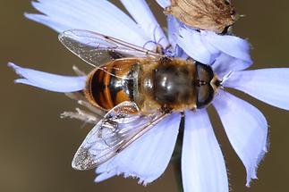 Eristalis tenax - Mistbiene, Männchen (2)