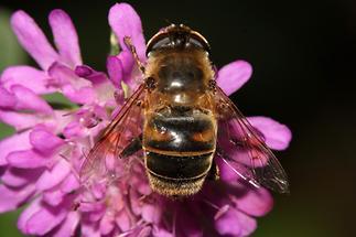 Eristalis tenax - Mistbiene, Scheinbienen-Keilfleckschwebfliege, Weibchen