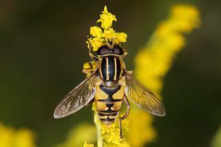 Helophilus pendulus - Gemeine Sumpfschwebfliege, auf Blüte sitzend
