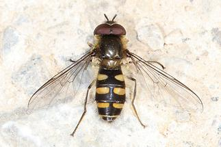 Melangyna lasiophthalma - Frühe Frühlingsschwebfliege, auf Fahrweg sitzend
