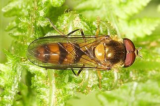 Meliscaeva cinctella - Späte Frühlingsschwebfliege