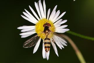 Meliscaeva cinctella - Späte Frühlingsschwebfliege, auf Gänseblümchen