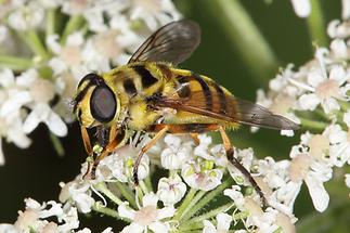Myathropa florea - Totenkopfschwebfliege, Weibchen (2)