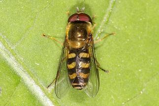 Scaeva selenitica - Frühe Großstirnschwebfliege, auf Blatt