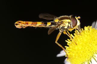 Sphaerophoria scripta - Gemeine Langbauchschwebfliege, Männchen (1)
