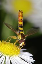 Sphaerophoria scripta - Gemeine Langbauchschwebfliege, Männchen (2)