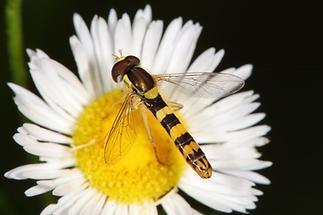 Sphaerophoria scripta - Gemeine Langbauchschwebfliege, Männchen (3)