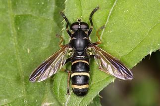 Temnostoma bombylans - Hummel-Moderholzschwebfliege, Männchen