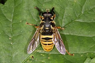 Temnostoma vespiforme - Wespen-Moderholzschwebfliege, Männchen (1)