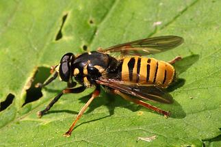 Temnostoma vespiforme - Wespen-Moderholzschwebfliege, Männchen (2)
