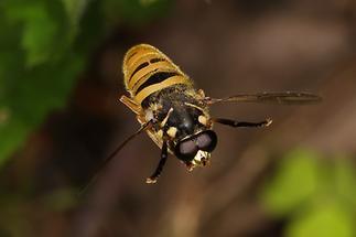 Temnostoma vespiforme - Wespen-Moderholzschwebfliege, Männchen Flug