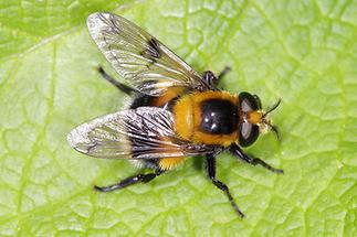 Volucella bombylans - Hummel-Waldschwebfliege, auf Blatt