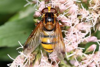 Volucella inanis - Gebänderte Waldschwebfliege, Weibchen (1)