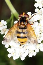 Volucella inanis - Gebänderte Waldschwebfliege, Weibchen (3)