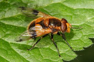 Volucella inflata - Gelbfleck-Waldschwebfliege, Männchen