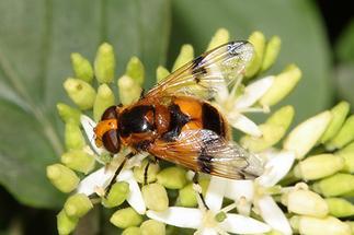 Volucella inflata - Gelbfleck-Waldschwebfliege, Weibchen