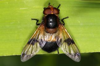 Volucella pellucens - Gemeine Waldschwebfliege, Weibchen (1)