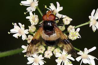 Volucella pellucens - Gemeine Waldschwebfliege, Weibchen (2)