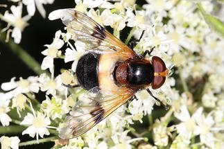 Volucella pellucens - Gemeine Waldschwebfliege, Weibchen (4)