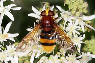 Volucella zonaria - Hornissenschwebfliege, Weibchen (1)