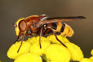 Volucella zonaria - Hornissenschwebfliege, Weibchen (2)