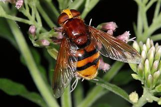 Volucella zonaria - Hornissenschwebfliege, Weibchen (3)