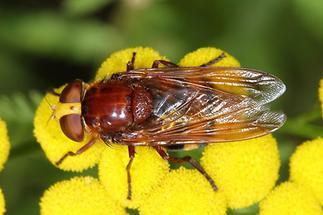 Volucella zonaria - Hornissenschwebfliege, Weibchen (4)