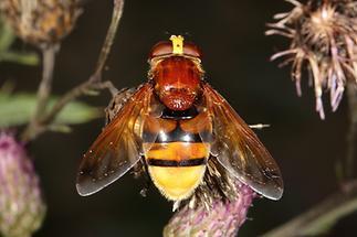 Volucella zonaria - Hornissenschwebfliege, Weibchen (5)