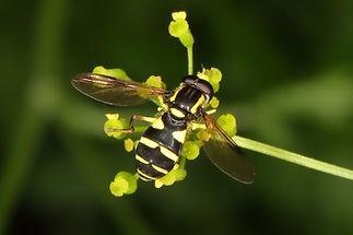 Xanthogramma pedissequum - Späte Gelbrandschwebfliege, Männchen