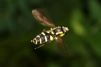 Xanthogramma pedissequum - Späte Gelbrandschwebfliege, im Flug
