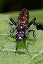 Xylota lenta - Schwarzfuß-Langbauchschwebfliege, Männchen (2)