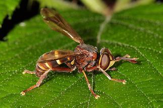 Conops vesicularis - Große Wespendickkopffliege (2)