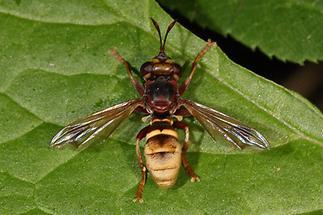 Conops vesicularis - Große Wespendickkopffliege (3)