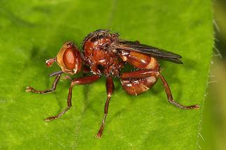 Sicus ferrugineus - Gemeine Breitstirnblasenkopffliege (1)