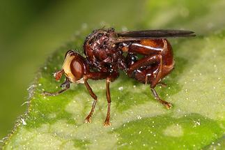 Sicus ferrugineus - Gemeine Breitstirnblasenkopffliege (2)
