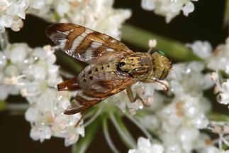 Chaetosromella cylindrica - Flockenblumen-Bohrfliege (2)