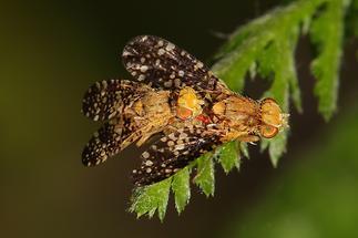 Oxyna flavipennis - kein dt. Name bekannt, Paar (1)