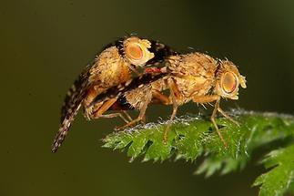 Oxyna flavipennis - kein dt. Name bekannt, Paar (2)