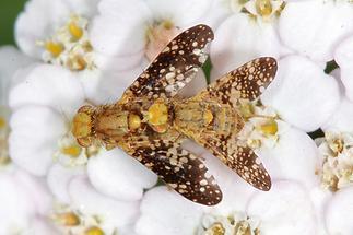 Oxyna flavipennis - kein dt. Name bekannt, Paar (3)