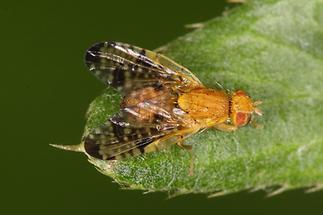 Xyphosia miliaria - Distel-Bohrfliege (1)