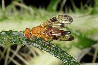 Xyphosia miliaria - Distel-Bohrfliege (2)