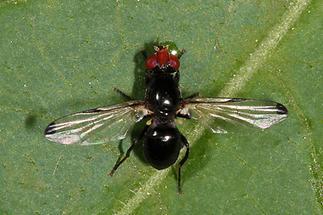 Seioptera vibrans - Rotstirnige Schmuckfliege (1)